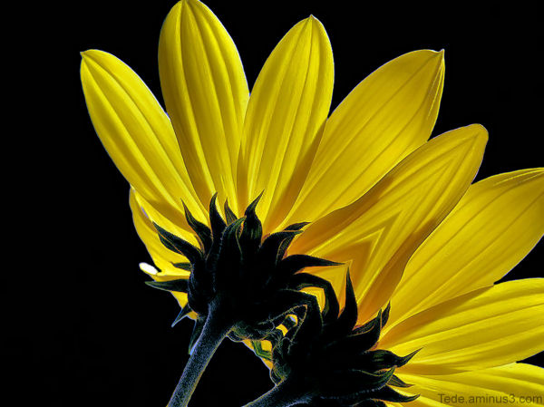 Fleurs de topinambour