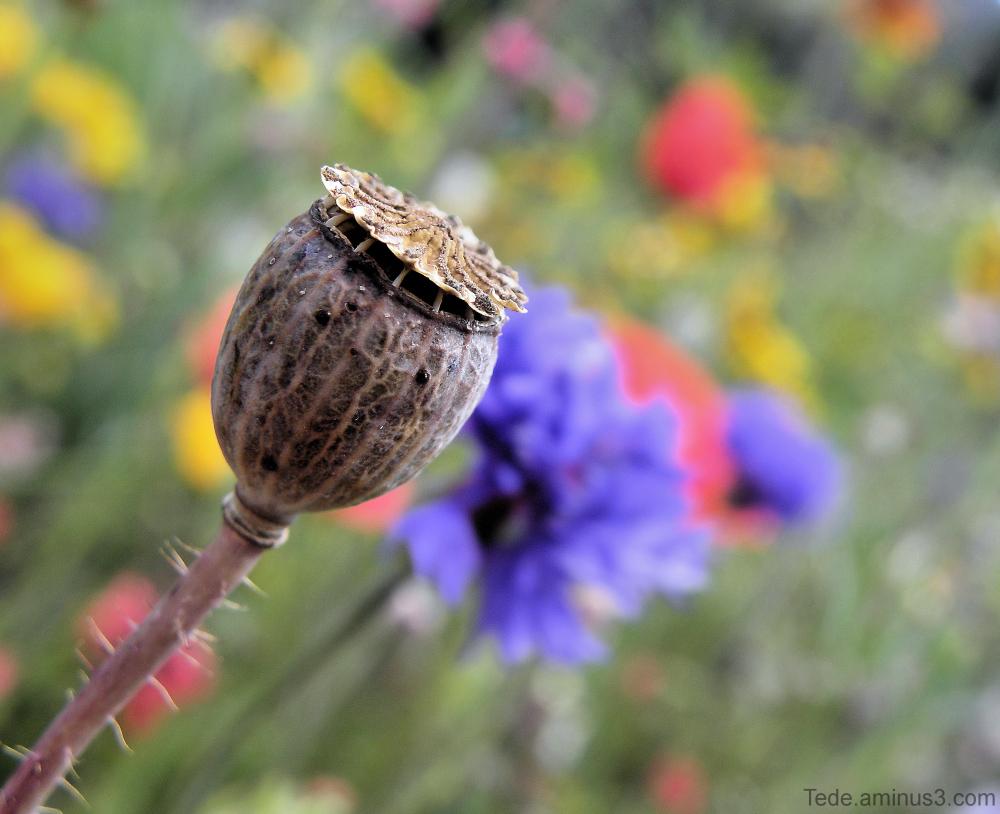 Fleurs et coquelicot