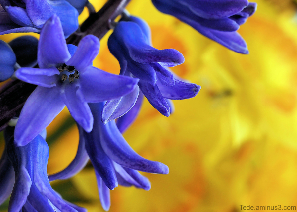 Fleur de jacinthe
