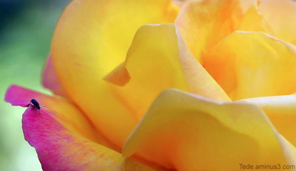 Insecte et fleur de rose