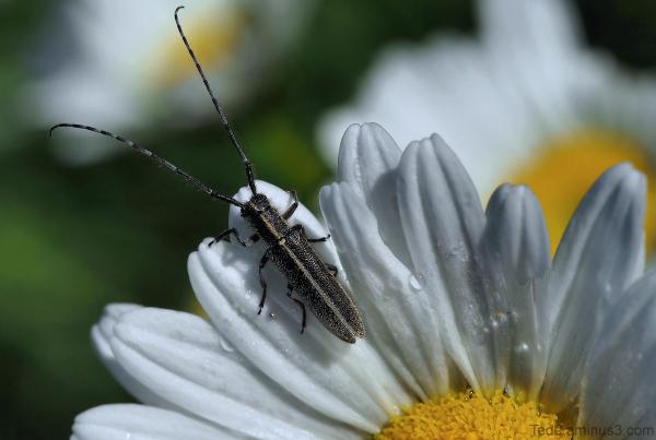 Insecte et fleur de marguerite