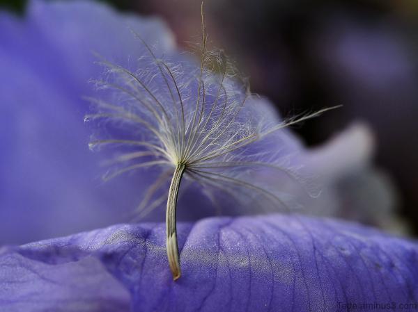 Akène sur une fleur d'iris