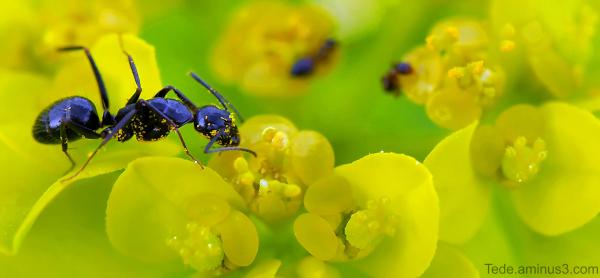 Pollen et fourmi