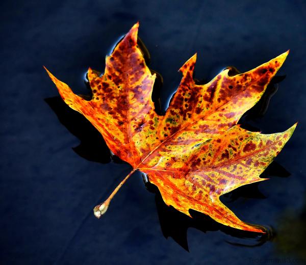 Feuille d'automne dans l'eau