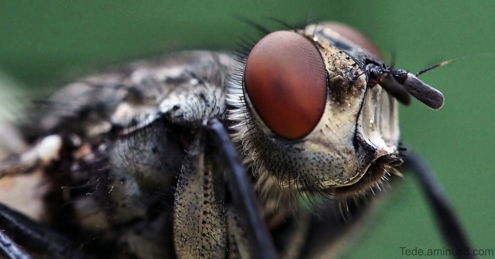 Gros plan sur la mouche