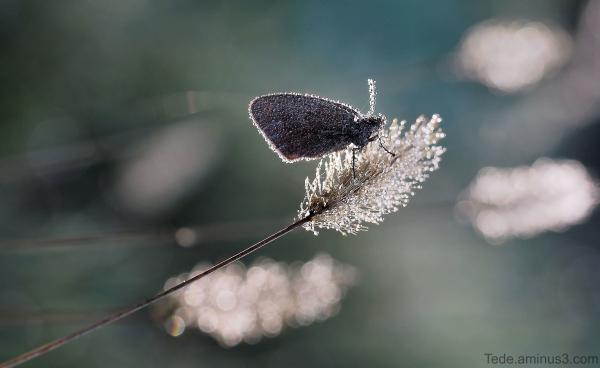 Papillon sur un épi de rosée