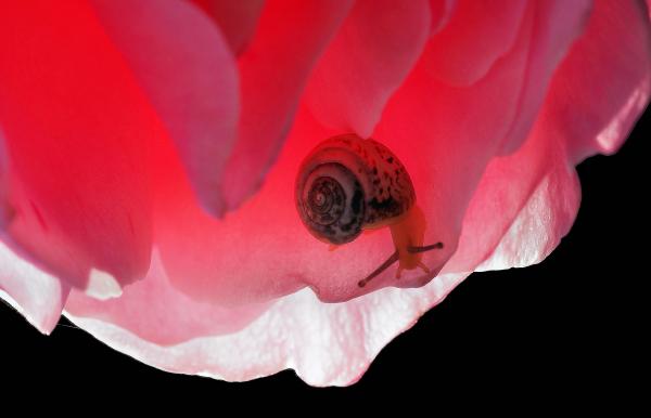 Escargot et fleur de rose