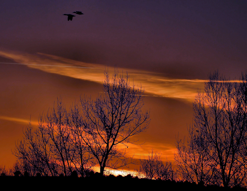 Canards dans le ciel du matin