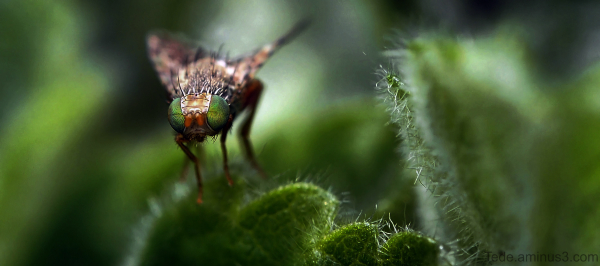 Mouche aux yeux verts