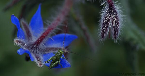 Sauterelle et fleur de bourrache