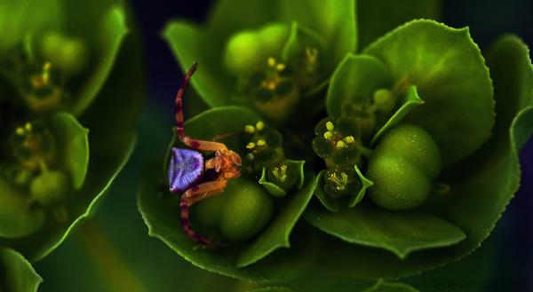 Thomise sur une fleur d'euphorbe