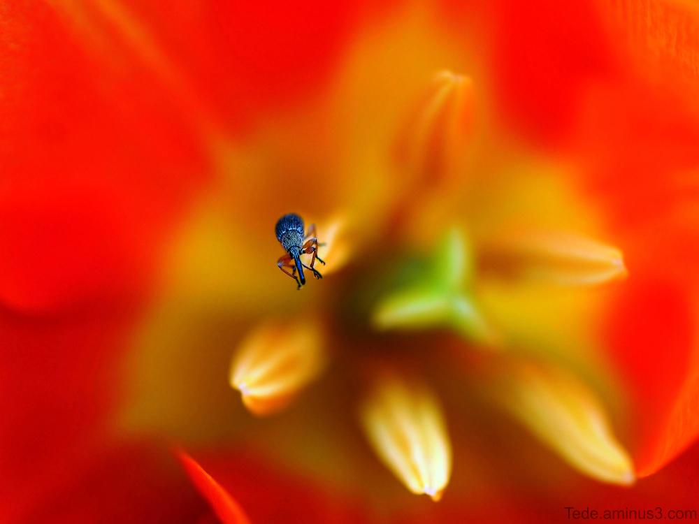 Charençon dans une tulipe