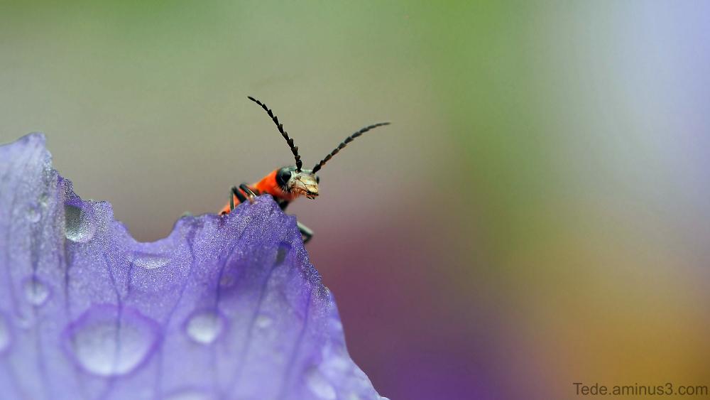 Insecte sur une fleur d'iris
