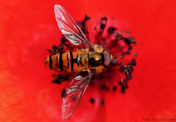 Syrphe sur une fleur de coquelicot