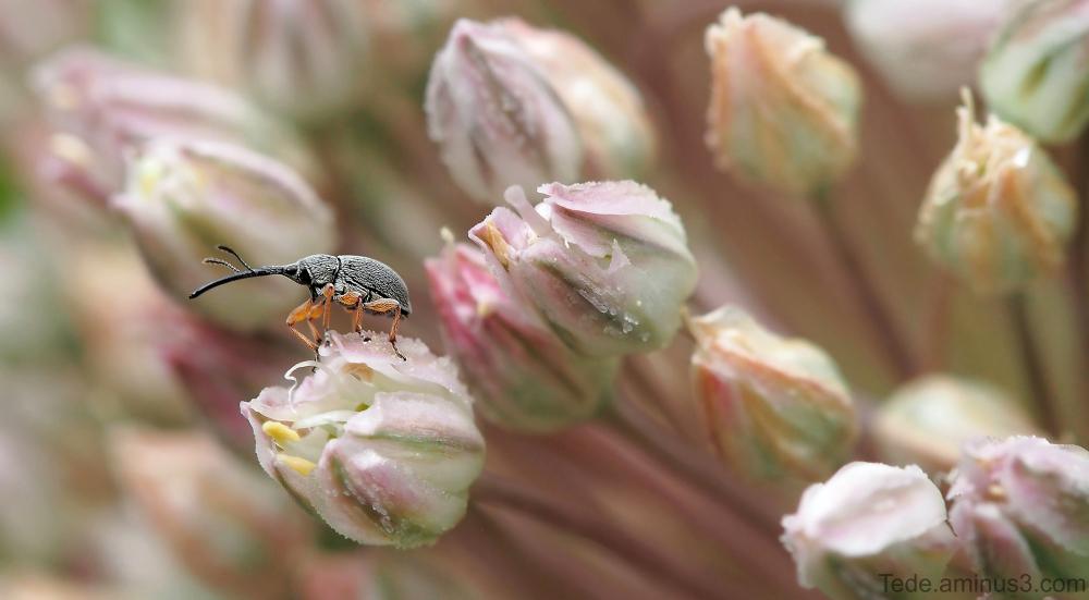 Charençon sur une fleur de poireau sauvage