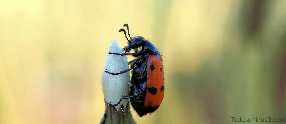 Insecte sur une fleur de chardon