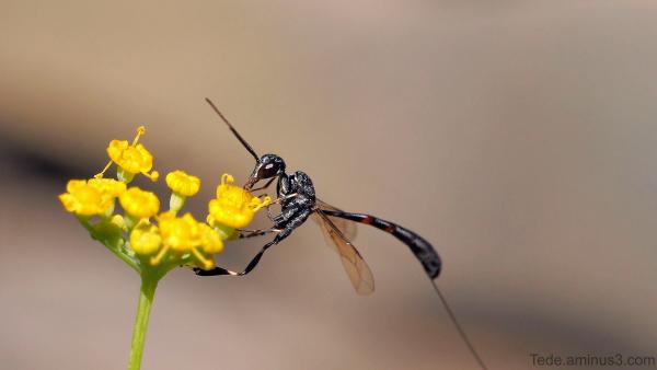 Insecte sur une fleur d'aneth !!!