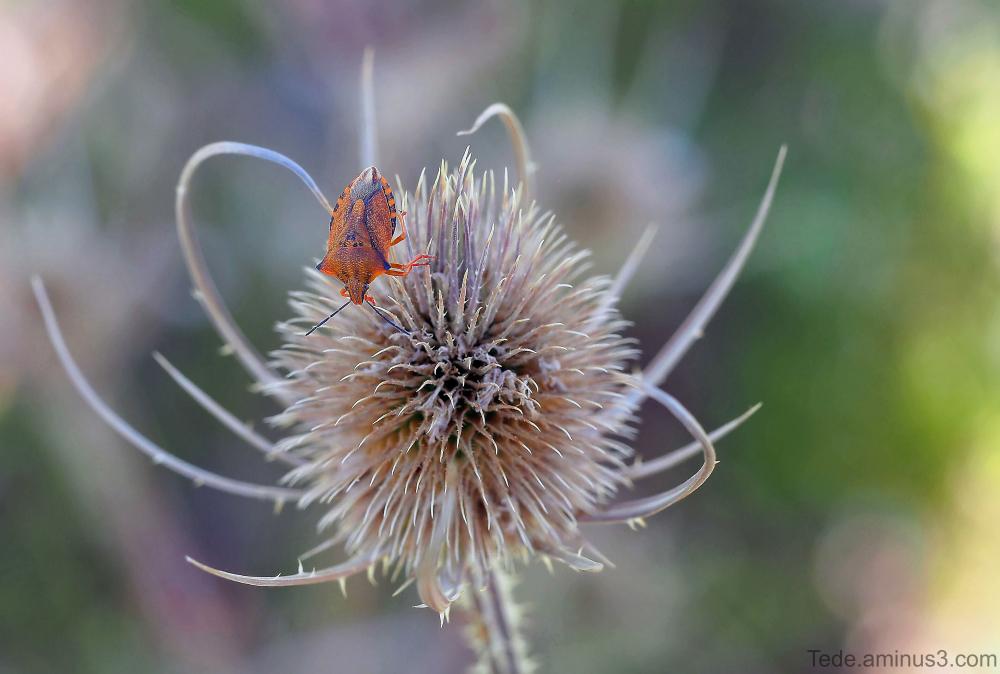 Punaise sur une fleur de chardon