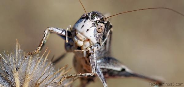 Sauterelle mangeant une graine