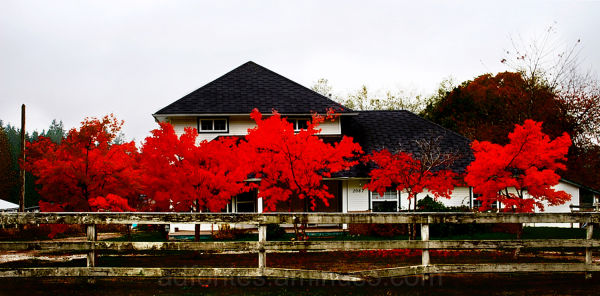 Red Fall Leaves in Langley, BC, Canada