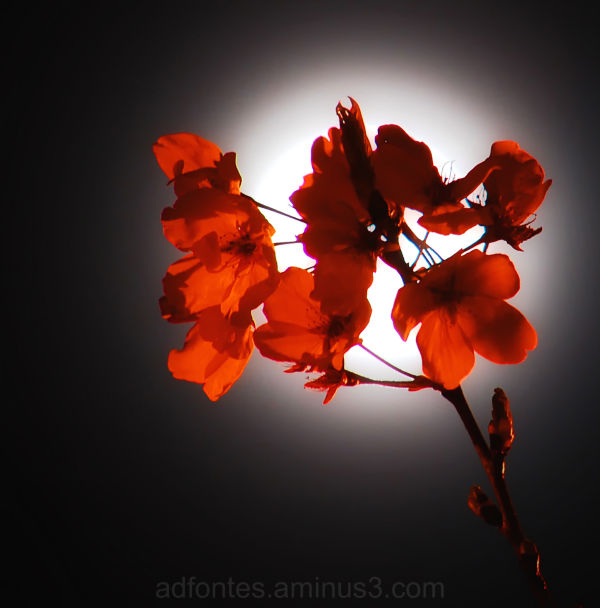 Blossoms Backlit by the Moon