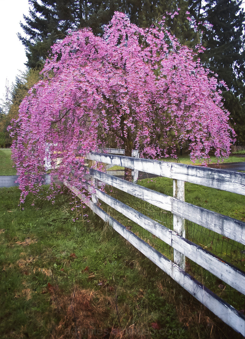 Pink blossoms along white fence with green grass