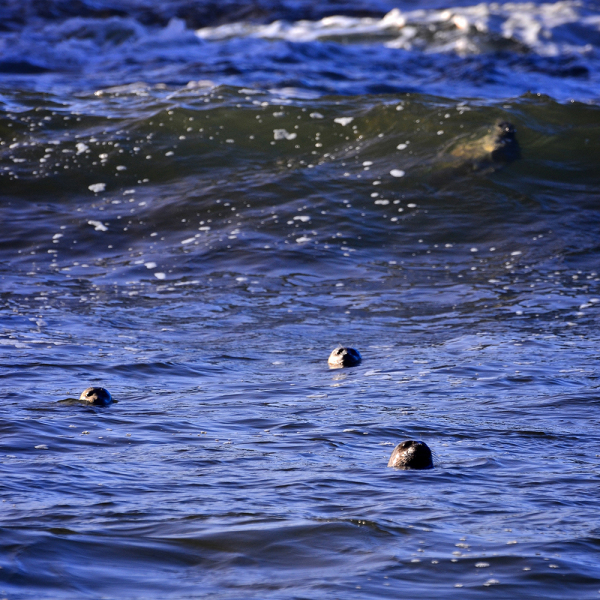 Seals play in the surf at Yaquina Head Lighthouse