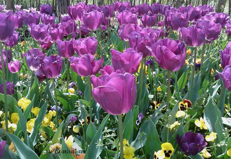 flower   گل