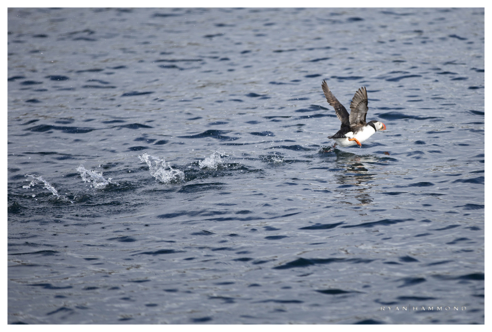 Puffin, Iceland, fishing, action, Ryan Hammond