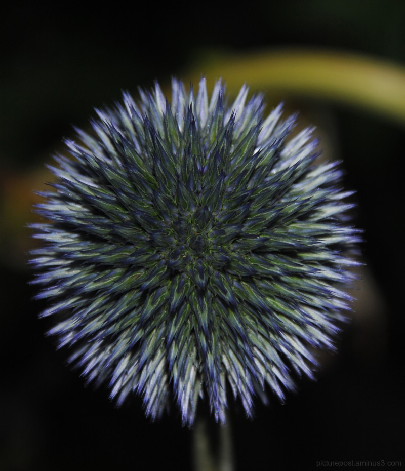 Echinops in the Evening Light