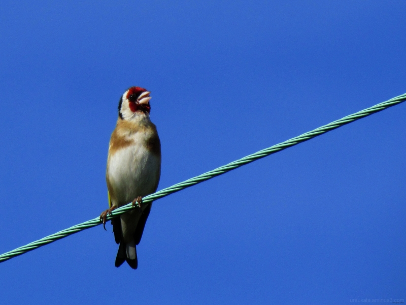 Goldfinch on a wire