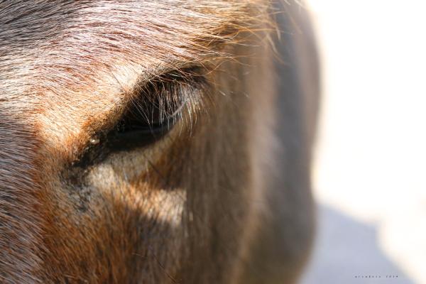 an eye of a donkey