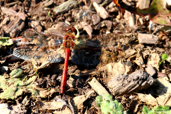 Red dragonfly