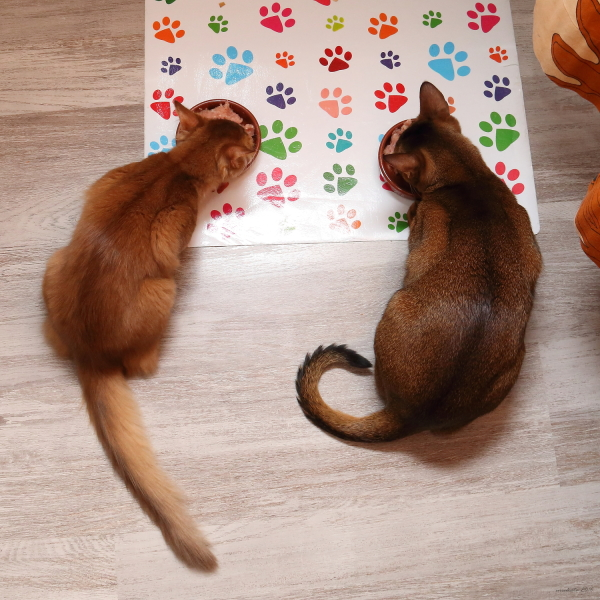somali, abyssinian, 365+1 days of their lives