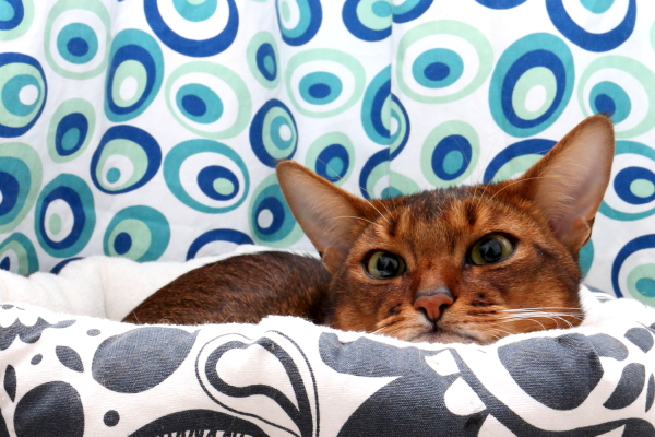 somali-kitten abyssinian-cat 365+1daysoftheirlives