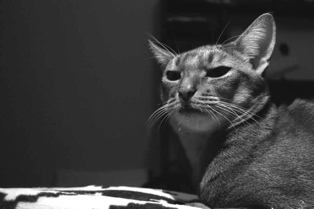 somali-kitten abyssinian-cat 365+1daysoftheirlives