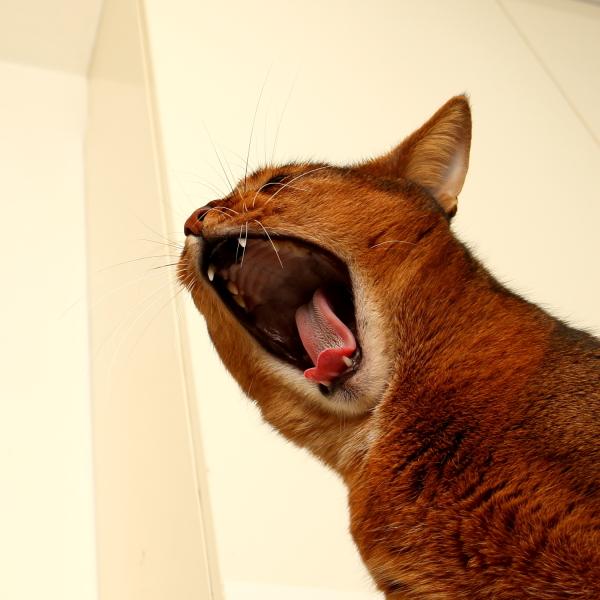 somali-cat abyssinian-cat
