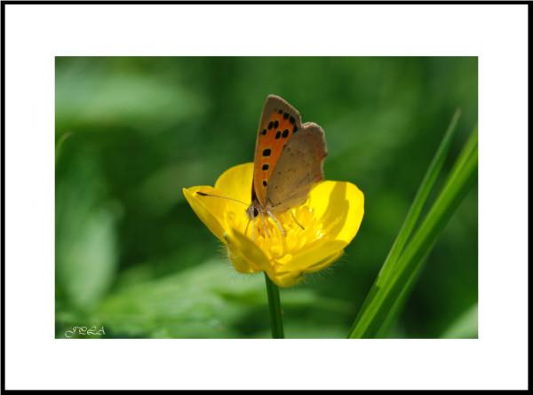 Papillon 2012 #7