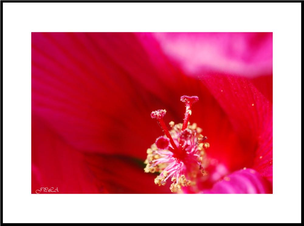 Hibiscus taille XXL #2 (ou un cousin : plus de 20
