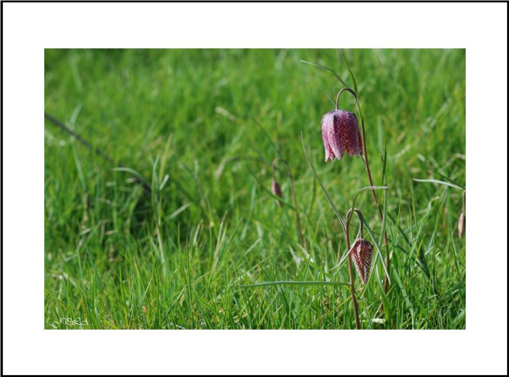 Fleur de la vallée #1