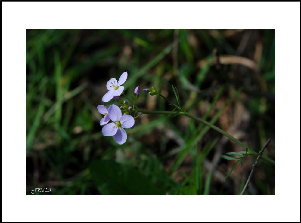 Fleur de la vallée #4