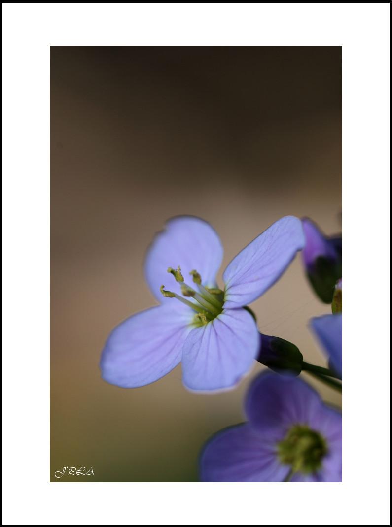 Fleur de la vallée #5
