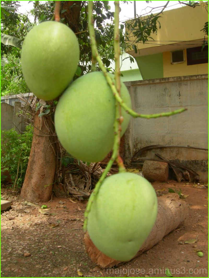 Mangoes on tree !