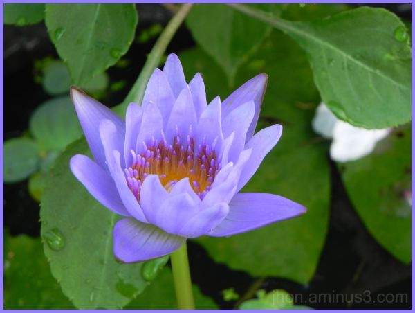 Blue Star Lotus