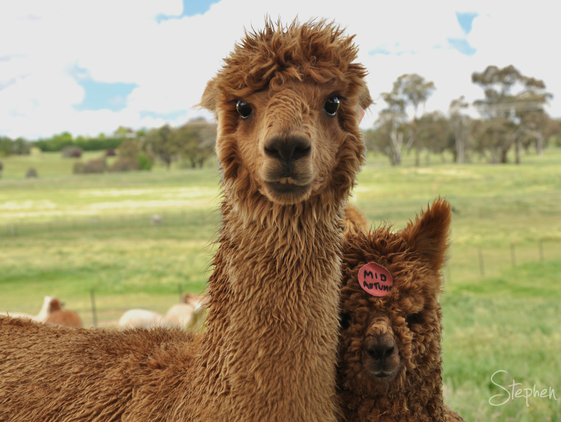 Alpaca best buddies
