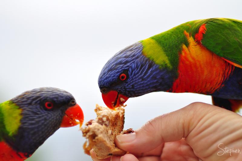 Lorikeets feeding on fruit toast at Dalmeny