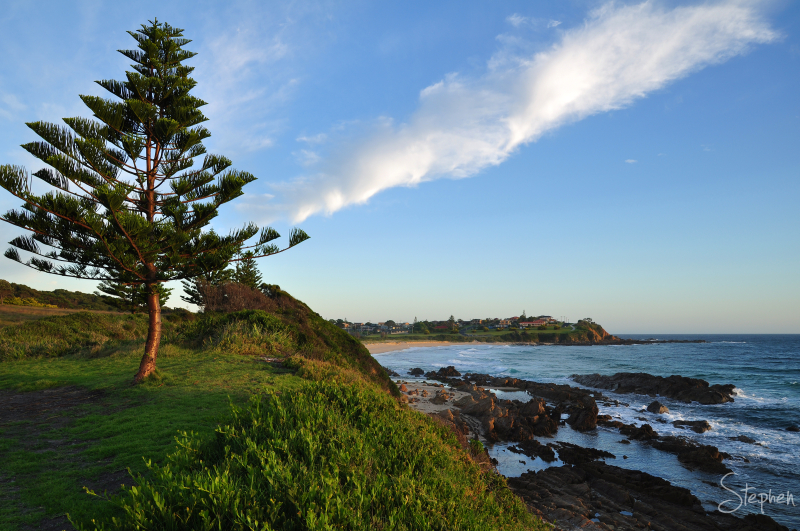 Norfolk Island Pine on a headland at Dalmeny