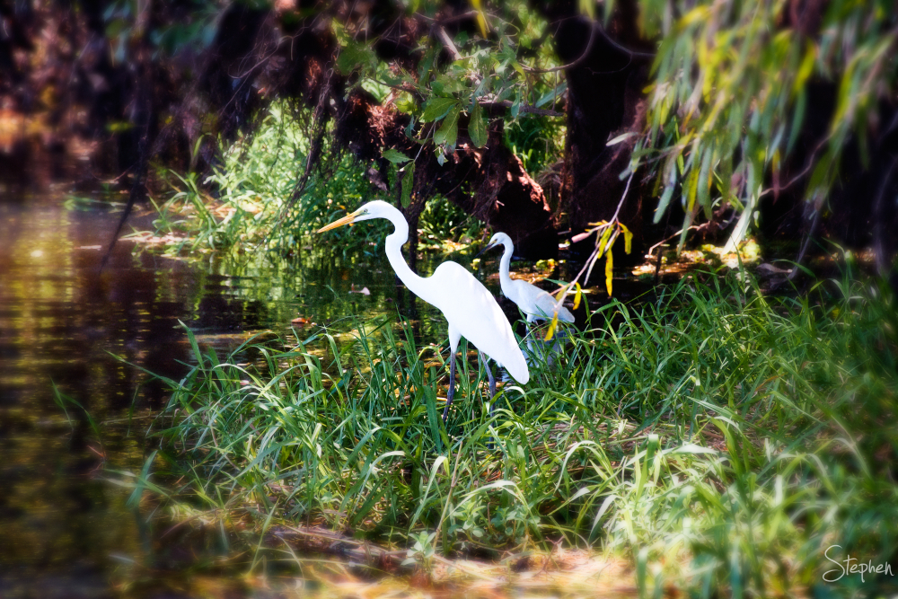 White Heron at Yellow Water in Kakadu