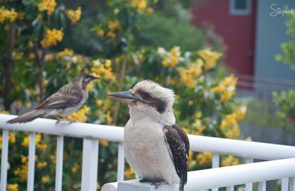 Kookaburra and Wattle Bird