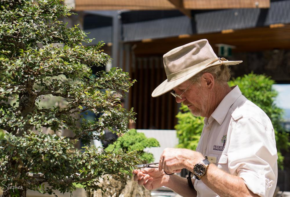 pruning bonsai plant at National Arboretum
